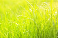 The green lush grass with drops Stock Images