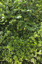 Green lush Jasmine bush Royalty Free Stock Images