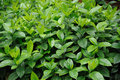 Green lush  leaves Stock Image