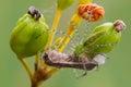 Green lynx spider Royalty Free Stock Photo