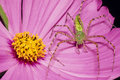 Green Lynx Spider on Pink Flower Stock Photography