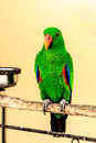 Green macaw parrot on perch Royalty Free Stock Photo