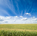 Green maize field Royalty Free Stock Photo