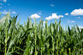 Green maize field Stock Photography