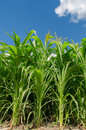 Green maize field shot of Royalty Free Stock Photography