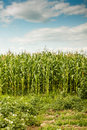 Green maize field under a blue sky with some clouds Stock Photography
