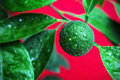 Green mandarin in the morning dew Royalty Free Stock Photos