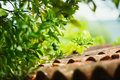Green mandarin on a tree branch over tiled red roof. Royalty Free Stock Photo