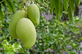 Green mango hanging on tree fruit Royalty Free Stock Photos