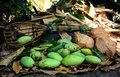 Green mangoes with long handled fruit pickeron and coconuts dry leafs thai Stock Images