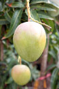Green mangoes on the trees in orchards for background Royalty Free Stock Photo