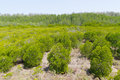 Green mangrove forest Royalty Free Stock Photography