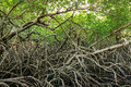 Green Mangroves Swamp Jungle D...