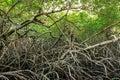 Green Mangroves Swamp Jungle D...
