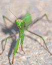 Green mantis face praying on the asphalt Royalty Free Stock Photography