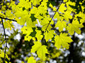 Green maple foliage in sunlight early autumn forest Stock Photography
