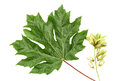 Green Maple Leaf and Seeds
