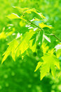Green maple leaves. Stock Photography