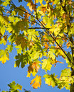 Green maple leaves against clear blue sky colorful maples with in background Stock Photography
