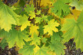 Green maple leaves begin to turn yellow in autumn closeup the Stock Images
