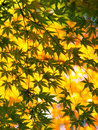 Green maple leaves maples against a yellow background Royalty Free Stock Photos
