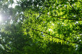 Green Maple leaves in Summer Stock Images