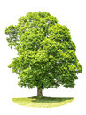 Green Maple Tree Isolated On W...