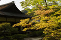 Green maple trees in the Japanese garden. Royalty Free Stock Photo