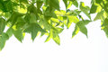Green marple leaves on the branch isolate white Stock Image