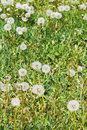 Green meadow with blowball dandelions Royalty Free Stock Photo