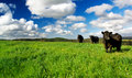 Green Meadow Cows Royalty Free Stock Photography