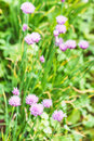 Green meadow with flowering chives herb Royalty Free Stock Photo