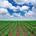 Green meadow of rows nature composition Royalty Free Stock Images