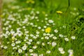 Green meadow with small white daisies Royalty Free Stock Photo