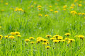 Green meadow with yellow dandelions selective focus Royalty Free Stock Images
