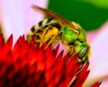 Green metallic bee perched on a flower collecting poleen Royalty Free Stock Photos