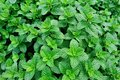 Green mint growing Royalty Free Stock Photo