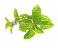 Green mint leaves isolated on white background Royalty Free Stock Images