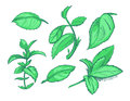 Green mint leaves, menthol, aroma peppermint hand drawn vector illustration