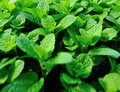 Green mint plants growing Royalty Free Stock Photo