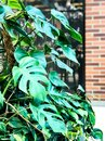 Green monstera plant Royalty Free Stock Photo