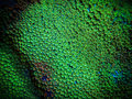 Green Montipora Coral Royalty Free Stock Photo