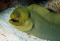 Green Moray Royalty Free Stock Photo