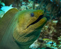 Green Moray Stock Photos