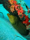 Green moray eel i shot this at the bottom of the ancient mariner wreck at about feet Royalty Free Stock Images