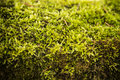Green moss abstract background close up of young light in the forest Royalty Free Stock Images