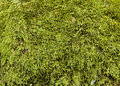 Green moss background growing on a granite rock makes a natural Royalty Free Stock Photos