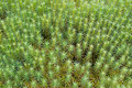 Green Moss Background (Polytrichum commune) Stock Image