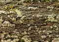 Green moss on a big tree bark background or texture. Royalty Free Stock Photo