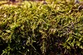 Green moss on old log. Close-up, selective focus, macro Royalty Free Stock Photo